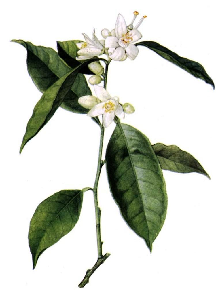 Citrus sinensis Neroli