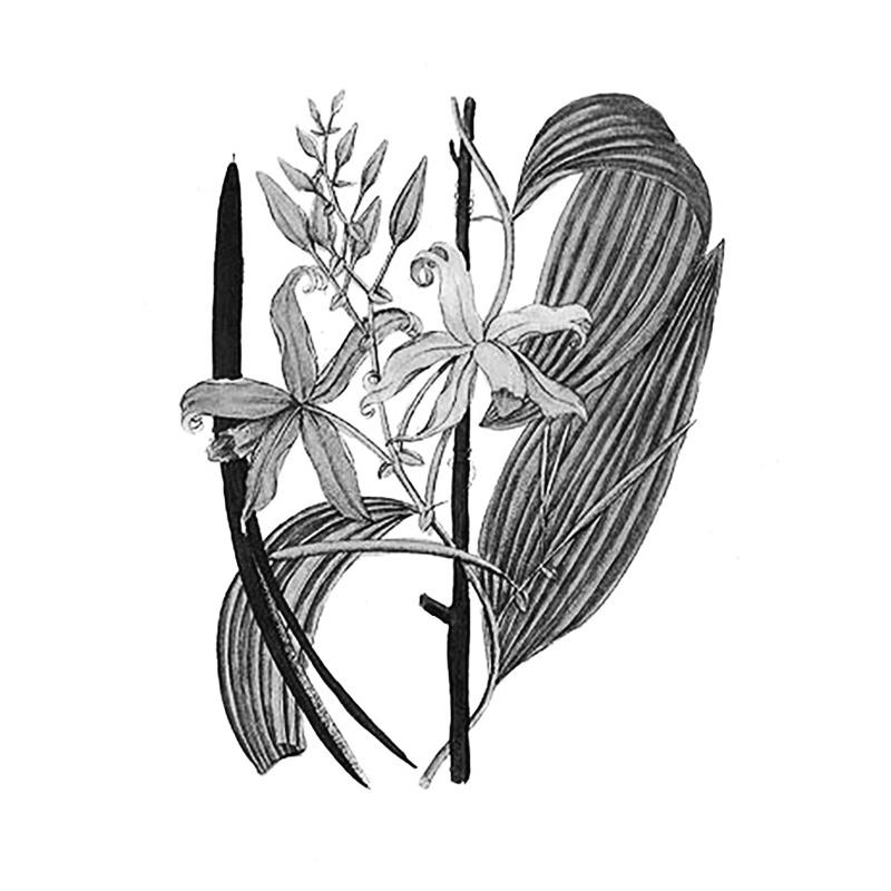 vanilla plantifolia